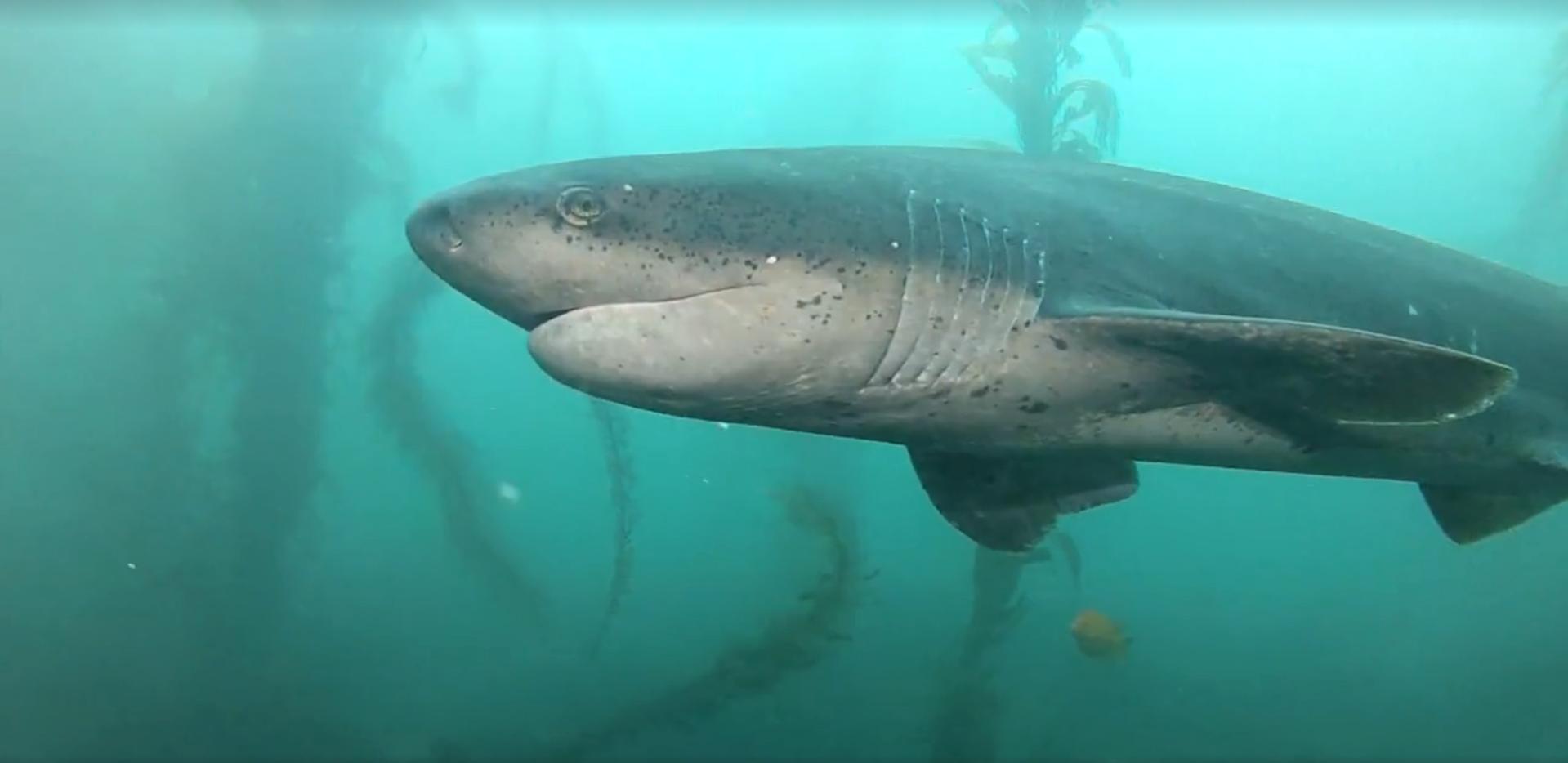 Sevengill shark at La Jolla Cove