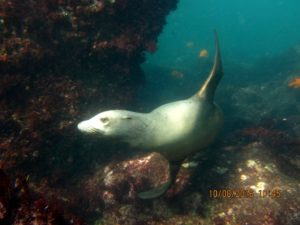 Adult Female Sea Lion