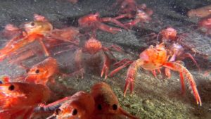 The Tuna or Red Pelagic crabs (Pleuroncodes planipes)