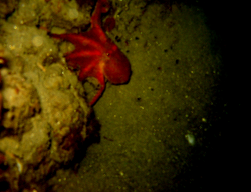 Two-Spotted Octopus – Octopus bimaculoides