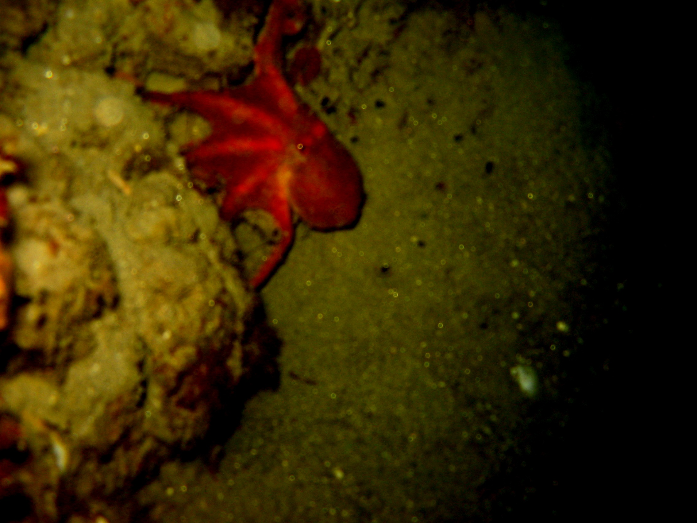 two-spotted octopus